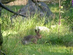 Lepus timidus